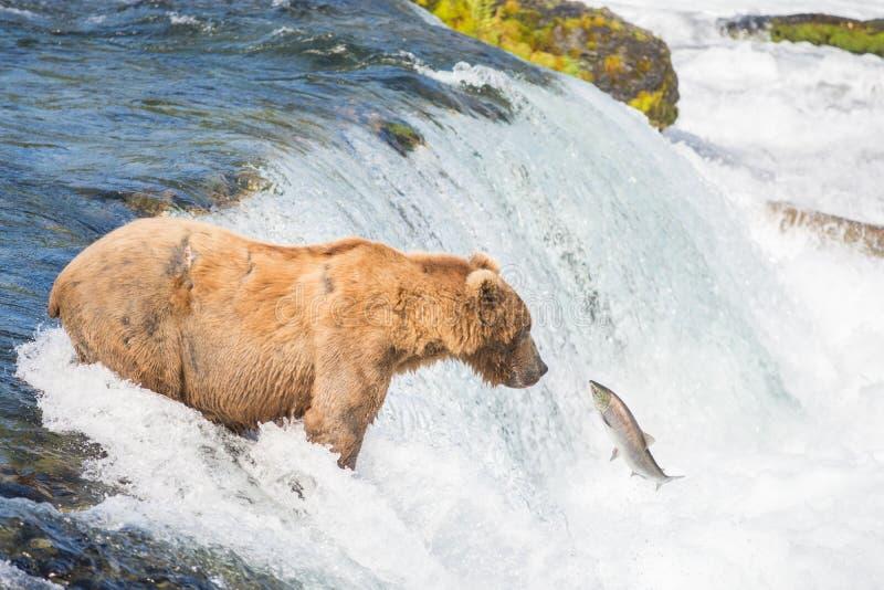 Ours brun d'Alaska essayant d'attraper des saumons images libres de droits