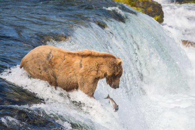 Ours brun d'Alaska essayant d'attraper des saumons photos stock
