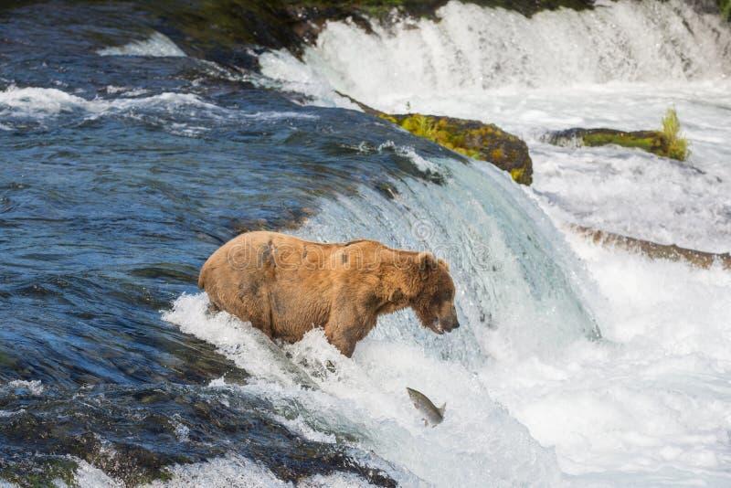 Ours brun d'Alaska essayant d'attraper des saumons photos libres de droits