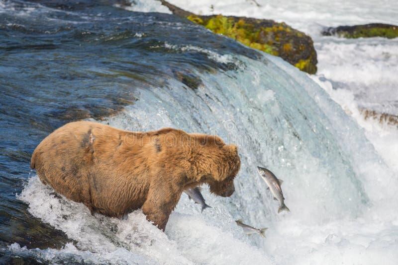 Ours brun d'Alaska essayant d'attraper des saumons image stock