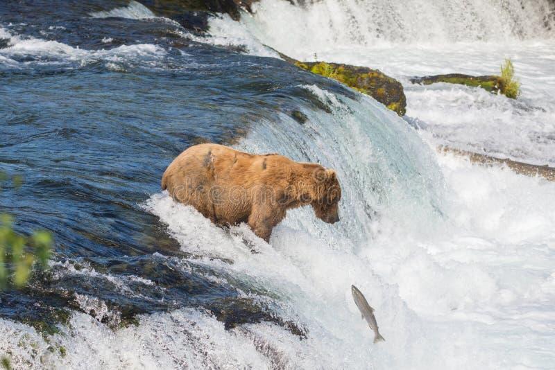 Ours brun d'Alaska essayant d'attraper des saumons image libre de droits