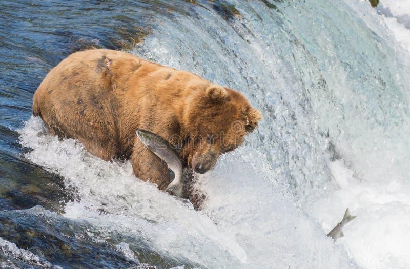 Ours brun d'Alaska essayant d'attraper des saumons photo stock