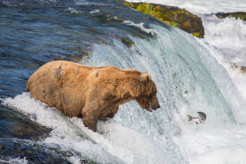 Ours brun d'Alaska essayant d'attraper des saumons photographie stock