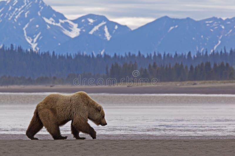 Ours brun d'Alaska le long de littoral image libre de droits