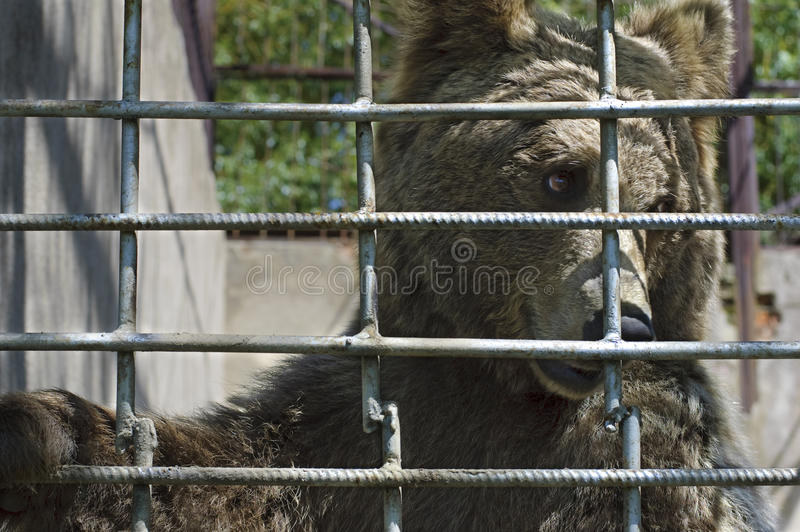 Ours brun mis en cage image stock