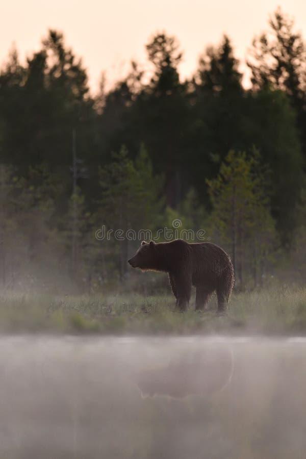 Ours dans la brume avec la réflexion de l'eau, ours dans le paysage scénique images stock