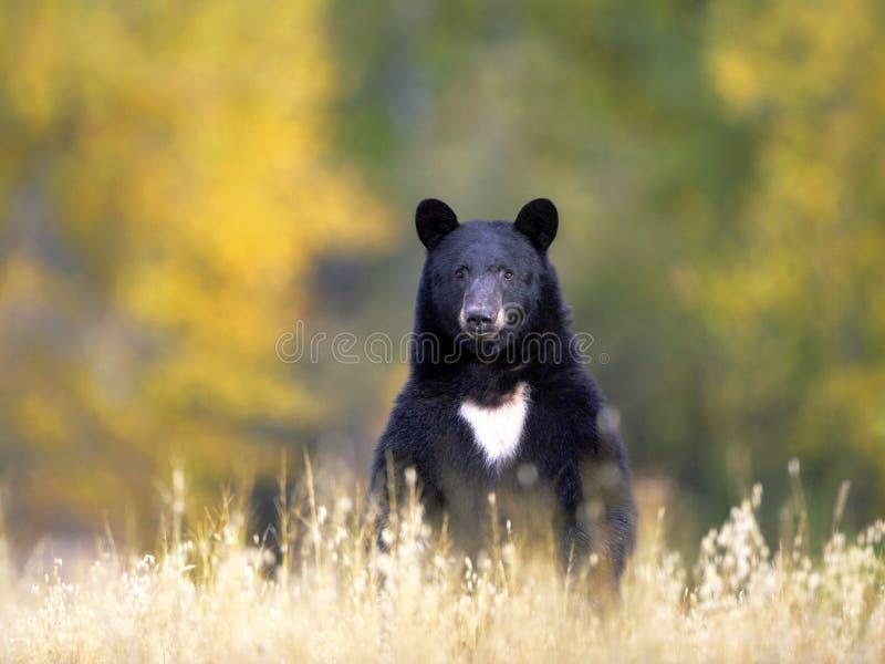 Ours dans le pré d'automne photo libre de droits