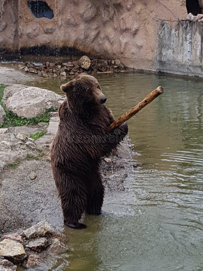 Ours dans le zoo photos stock