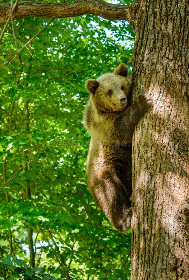 Ours dans une forêt de réservation naturelle de Zarnesti, près de Brasov, la Transylvanie, Roumanie images libres de droits