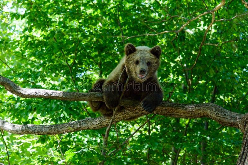 Ours dans une forêt de réservation naturelle de Zarnesti, près de Brasov, la Transylvanie, Roumanie images stock