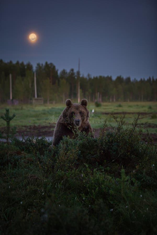 Ours de Brown à la nuit images stock