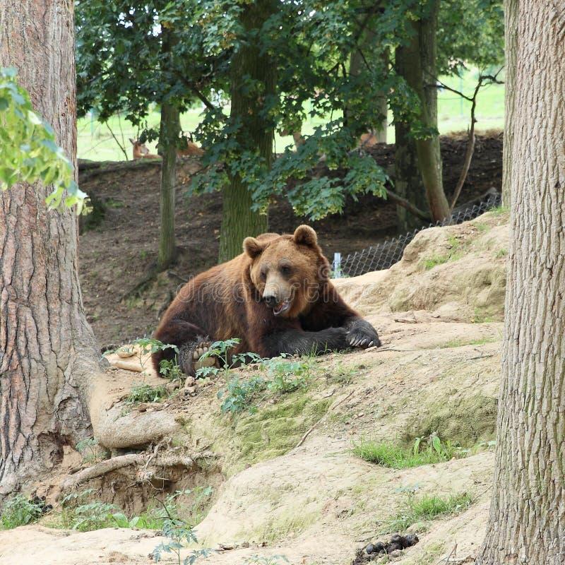 Download Ours de Brown photo stock. Image du tchèque, arbre, ours - 76088332