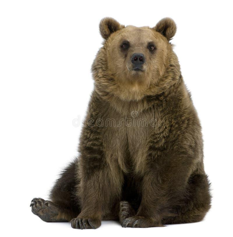 Ours de Brown, 8 années, se reposant photos libres de droits