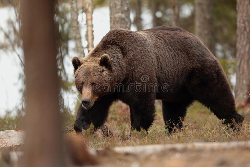 Ours de Brown photo stock
