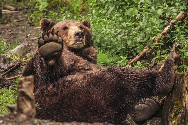 Ours de Brown, Alaska images libres de droits
