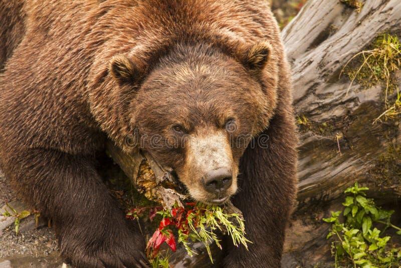 Ours de Brown, Alaska photo libre de droits