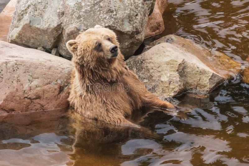 Ours de Brown appréciant les plaisirs d'un bain photo stock