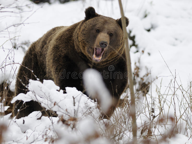 Ours de Brown (arctos d Ursus)