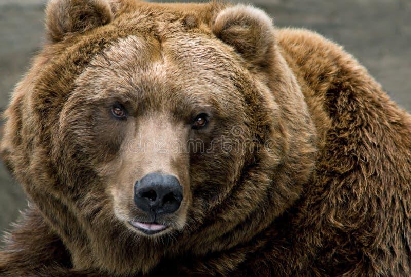 Ours de Brown (arctos d'Ursus) image stock