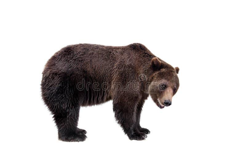 Ours de Brown, arctos d'Ursus images stock