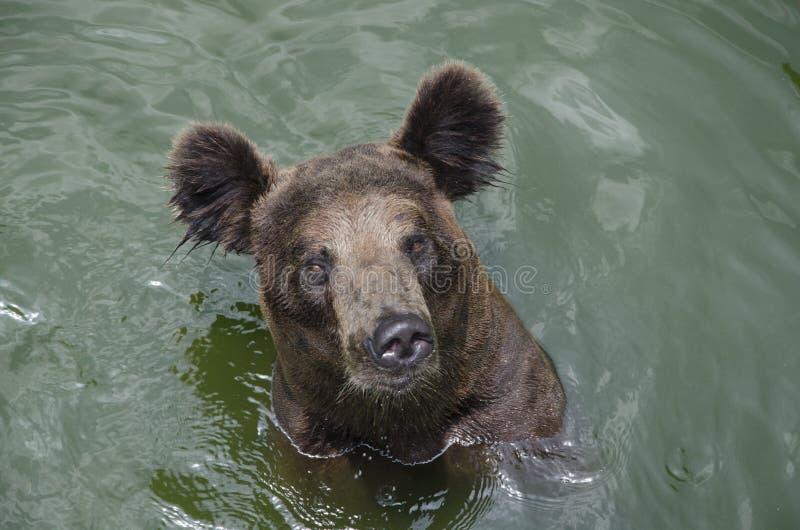Ours de Brown dans l'eau images libres de droits
