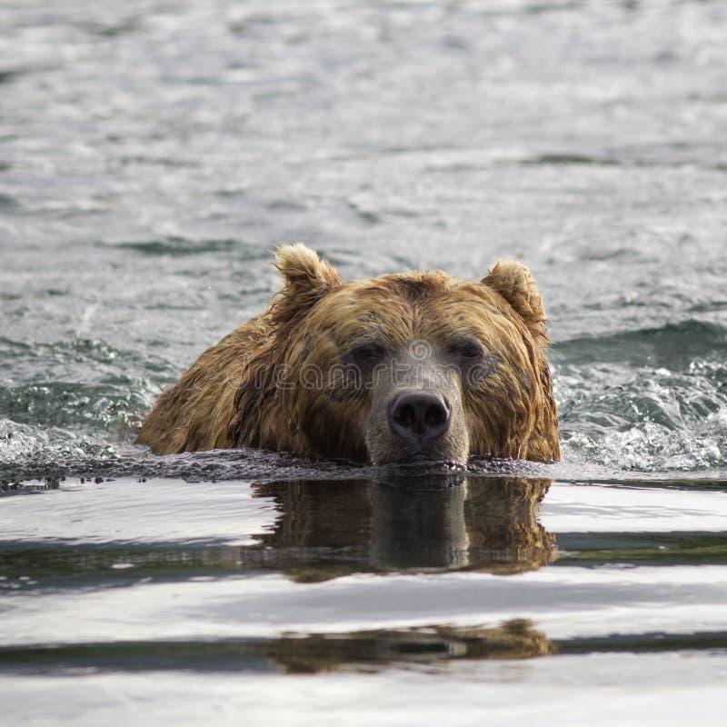 Ours de Brown dans l'eau Verticale de plan rapproché photographie stock