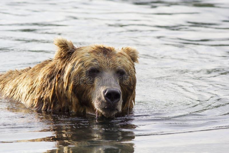 Ours de Brown dans l'eau Verticale de plan rapproché images libres de droits
