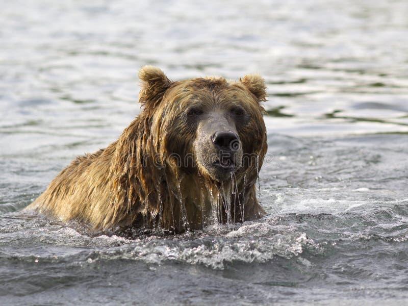 Ours de Brown dans l'eau Verticale de plan rapproché photo stock