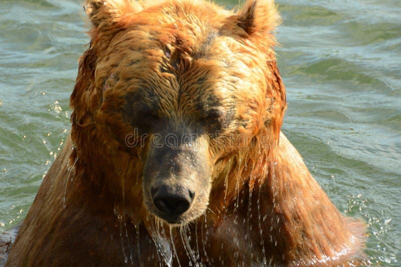 Ours de Brown dans le lac kamchatka photos stock