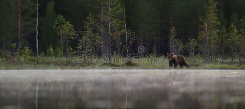 Ours de Brown dans une vue panoramique de forêt brumeuse de taiga images libres de droits