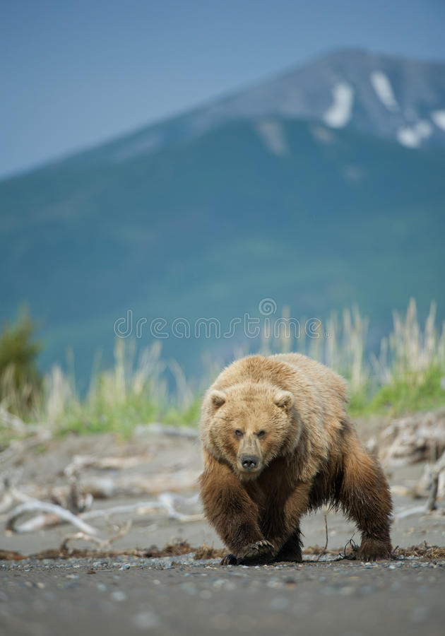 Ours de Brown de l'Alaska photographie stock