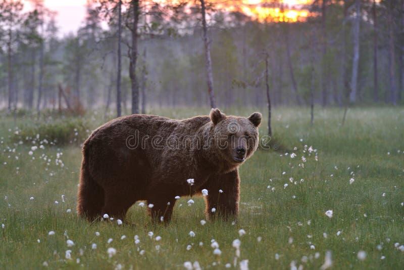 Ours de Brown et le coucher du soleil photo stock
