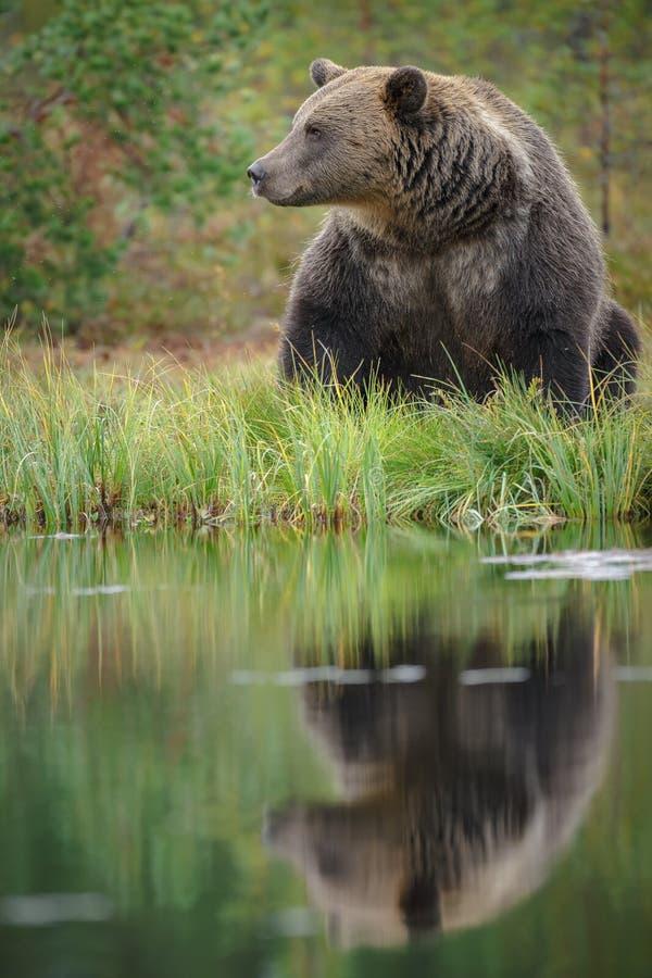 Ours de Brown, Finlande photos libres de droits