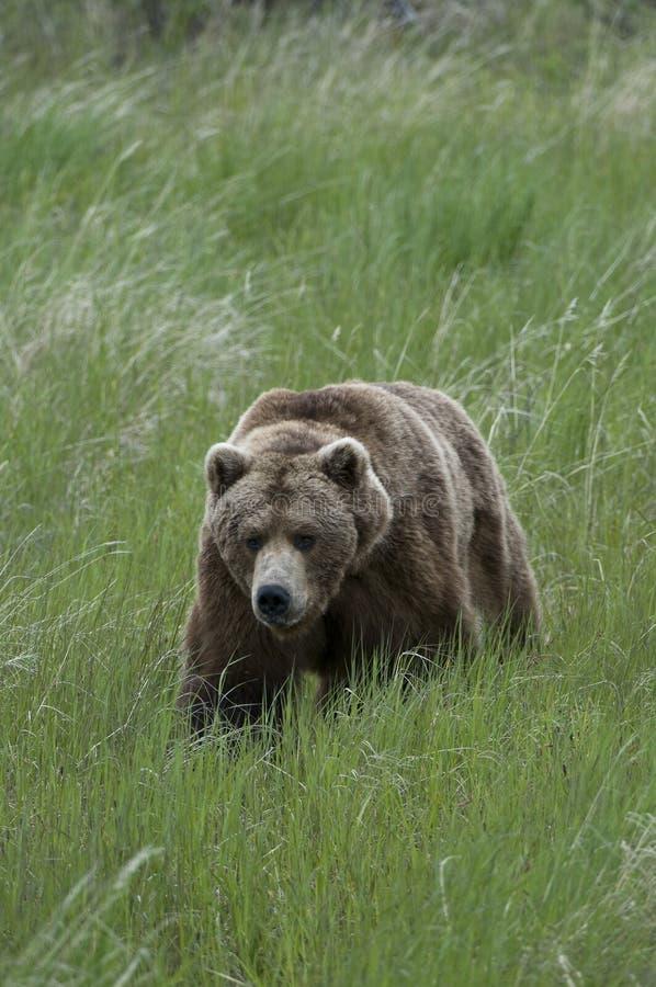 Ours de Brown marchant par l'herbe photos stock