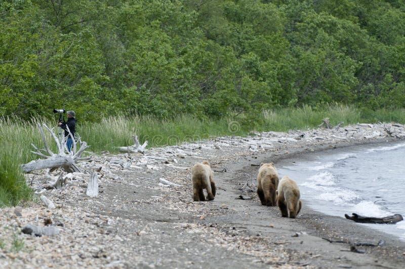 Ours de Brown marchant sur le rivage image stock
