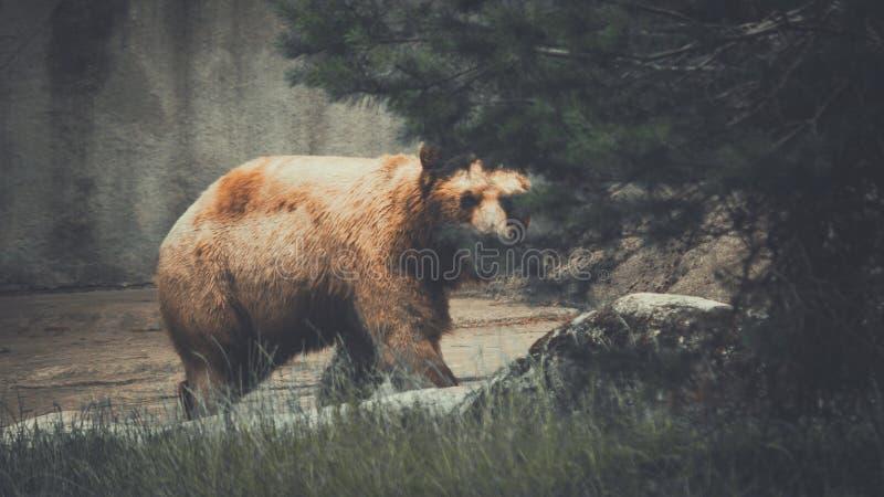 Ours de Brown menaçant derrière un arbre photos stock