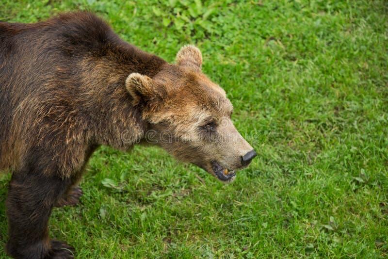 Ours de Brown montrant des dents et errant dans la r?serve naturelle verte en ?t? images stock