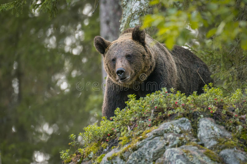 Ours de Brown regardant vers le bas, sauvage en Finlande photos stock