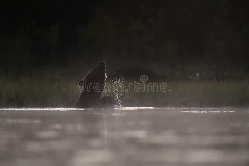 Ours de Brown se baignant dans un étang images stock