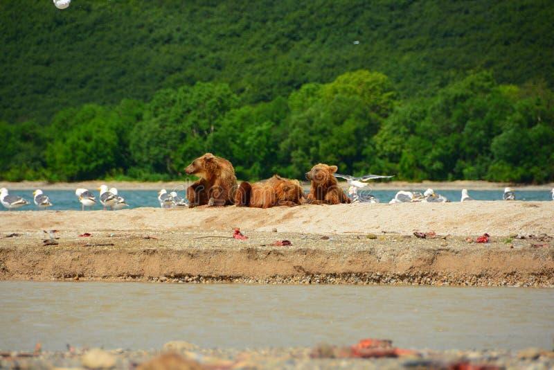 Ours de Brown se reposant dans le rivage image libre de droits