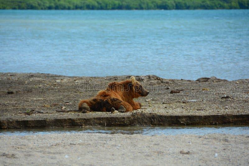 Ours de Brown se reposant dans le rivage photographie stock