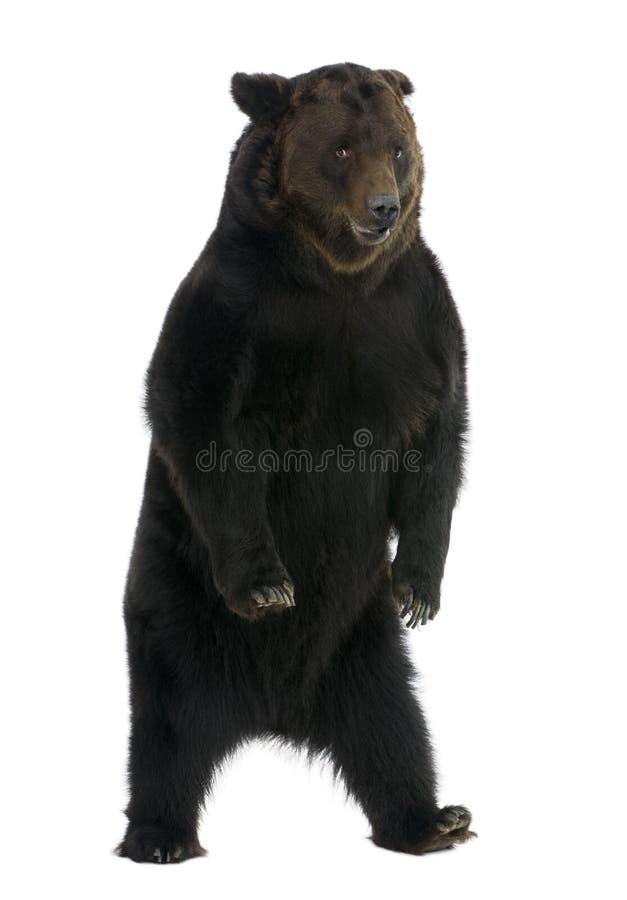 Ours de Brown sibérien, 12 années, restant images stock