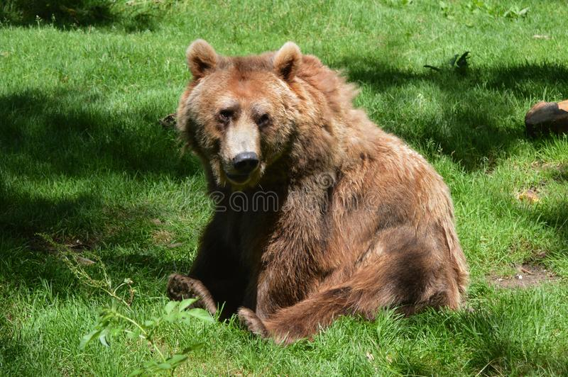 Ours de Brown de zoos de Dartmoor photo stock