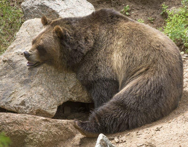 Ours de Grizzley forageant pour la nourriture photographie stock