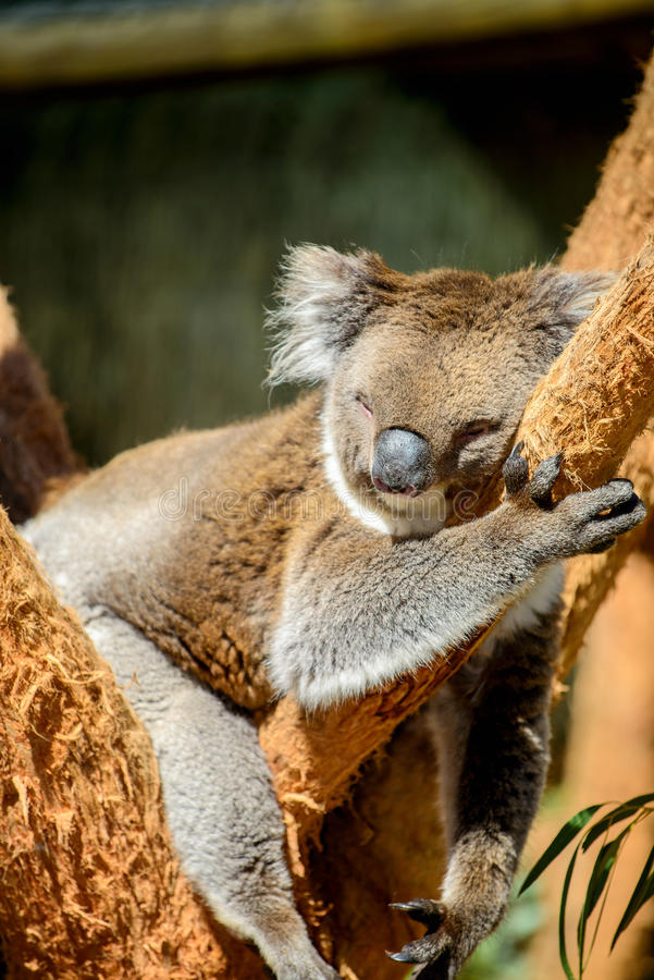 Ours de koala australien photo libre de droits
