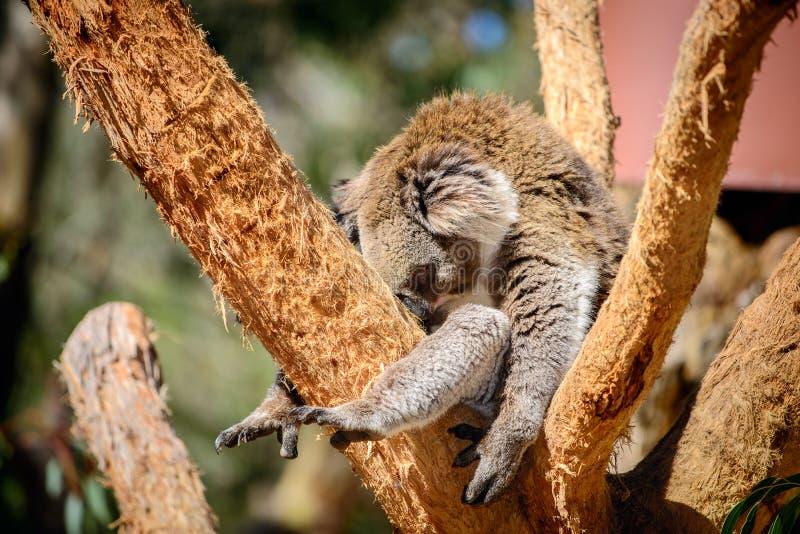 Ours de koala australien images libres de droits