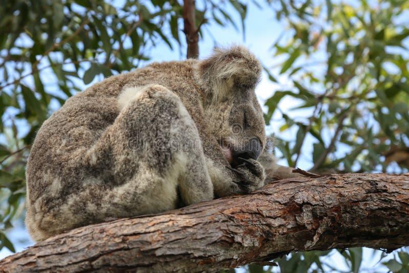 Ours de koala australien de sommeil photos stock