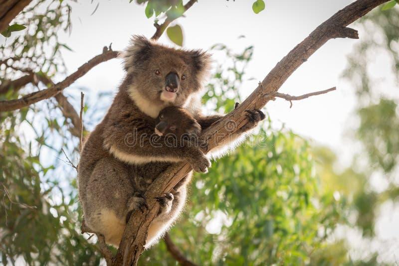 Ours de koala avec son bébé images libres de droits