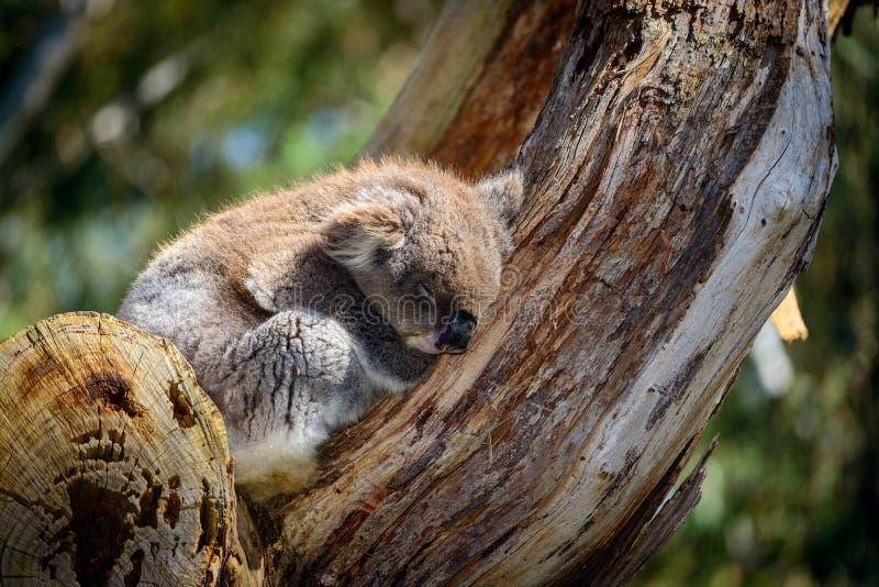 Ours de koala de sommeil photographie stock libre de droits