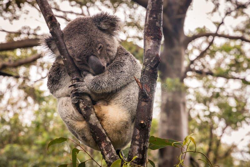 Ours de koala dormant sur l'arbre sous la pluie images libres de droits
